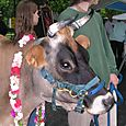 Cow_friends_12