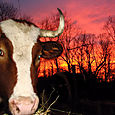 Ox_sunset