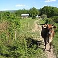 KRSNAI ON COW PATH