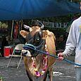 Cow_jason_3
