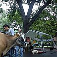 Cow_at_park_2