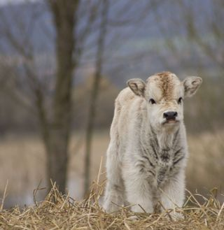 Baby_cow___by_Fredrick88