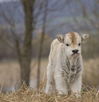 Baby_cow___by_Fredrick88
