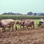 4-ox-team-plowing-O-394-L