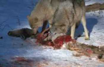 Wolf_eat001