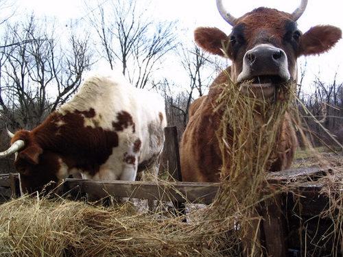 Cows_munchin