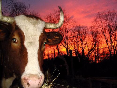 Ox_sunset