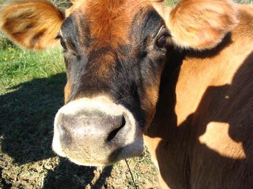 VINDI THE MILK COW
