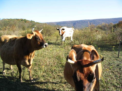 COWS AND LAND