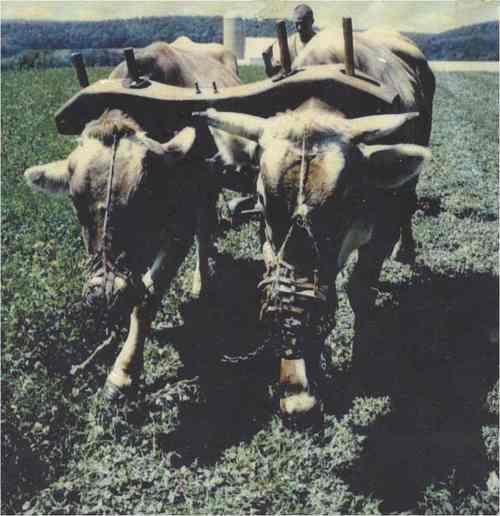 Haymakingwithoxen