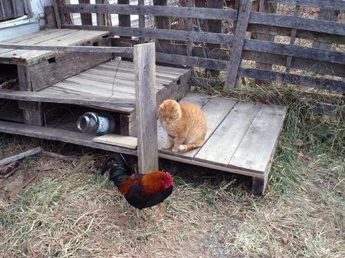 Cat_chicken