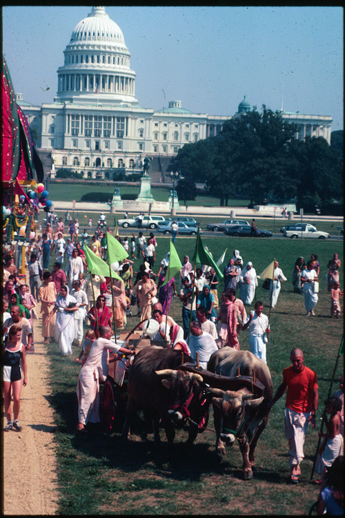 OXEN AT THE NATION'S CAPITOL