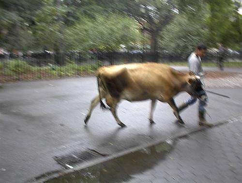 Cow_at_park