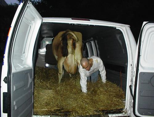 Cow_leaving_tsp_2