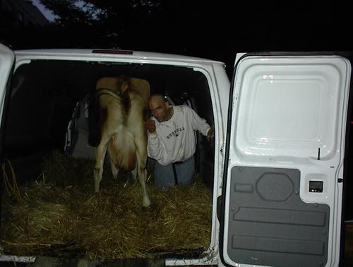 Cow_leaving_tsp_3