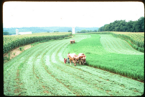 MOWING HAY WITH OXEN