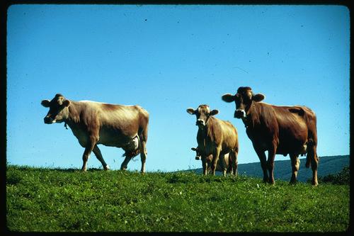 MILK COWS IN THE UPPER PASTURE